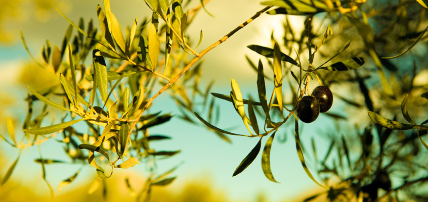 Olive-Oil-tour-from-Nafplio-in-Peloponnese-of-Greece-2