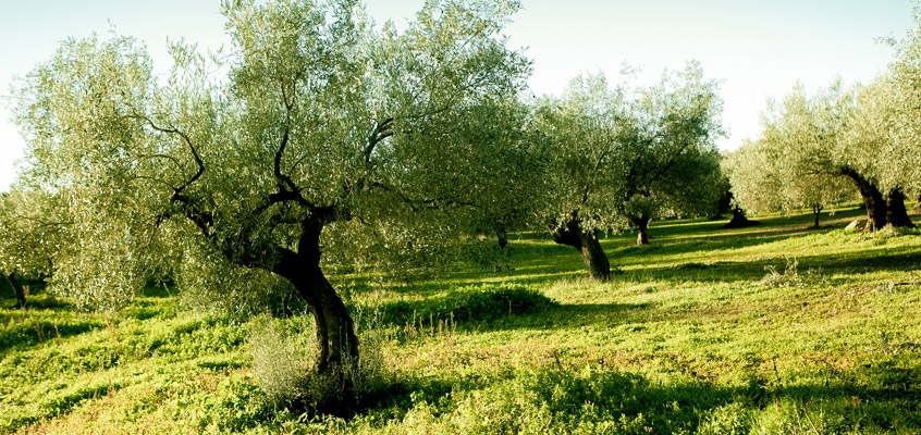 Olive-Oil-tour-from-Nafplio-in-Peloponnese-of-Greece-3